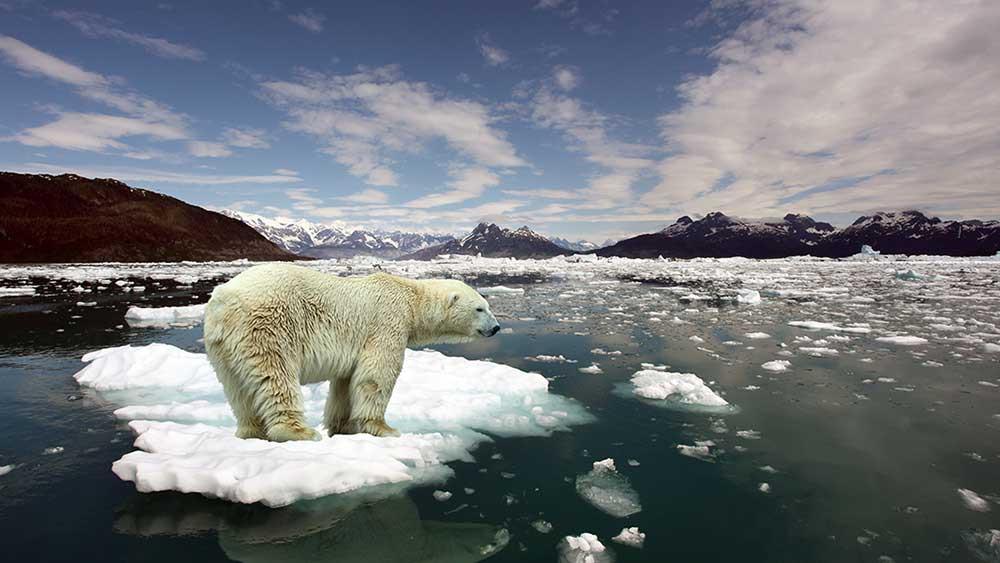 A polar bear standing on melting ice