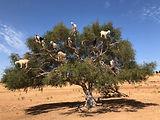 Goat-Tree-768x576.jpeg
