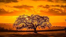 Oak Tree Picture bigger.jpg