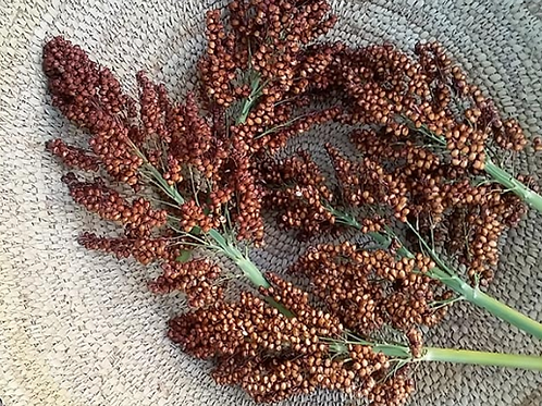 Treated Sweet Sorghum Cane Seed