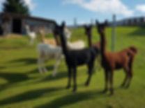 Alpaka, Alpakawanderung, Alpakas besuchen