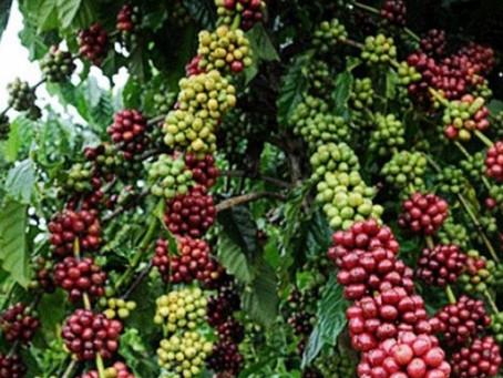Dia de Campo apresenta variedades de café clonal adaptadas ao Acre