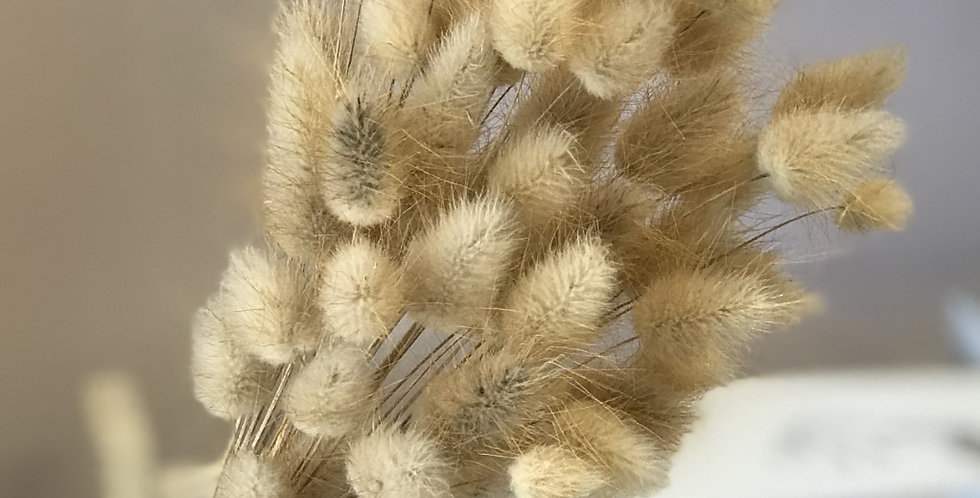 Natural Dried Lagurus - Bunny Tails