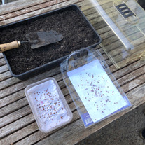 Laying out dried mulberry seeds ready for planting into a propagator.