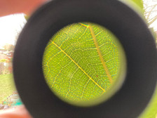 Close up of mulberry leaf arteries