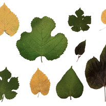 The different shapes of leaves from black and white mulberry trees