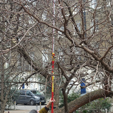 Russell Miller from Tree Musketeers taking cuttings from the black mulberry at Torrington Square, Bloomsbury.