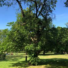 Black mulberry tree, Victoria Park