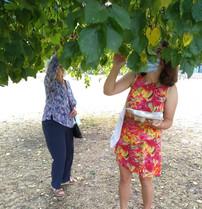 Black mulberry harvesting in Victoria Park