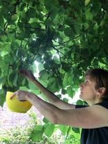Harvesting berries at St Margaret's House