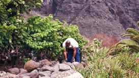 La primera vendimia del Hemisferio Norte arranca en Viñátigo