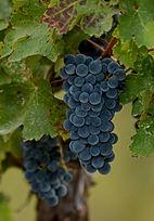 NA022 Wine Grapes.JPG