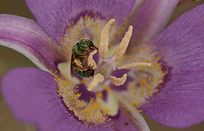 I017 Green Metalic Bee.JPG