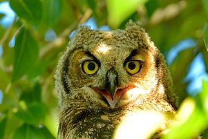 B082 Great Horned Owlet