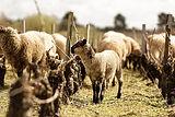 Moutons dans vigne.jpeg