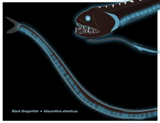 Black Dragonfish