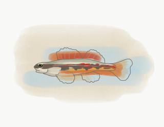 Firebelly Darter