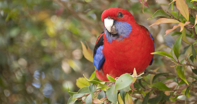 Crimson Rosella Lamington National Park_