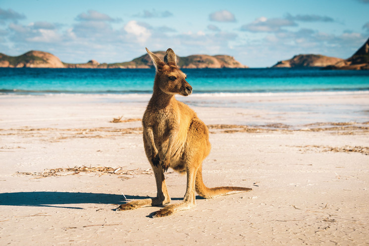 Kangaroo-at-Lucky-Bay-in-the-Cape-Le-Gra