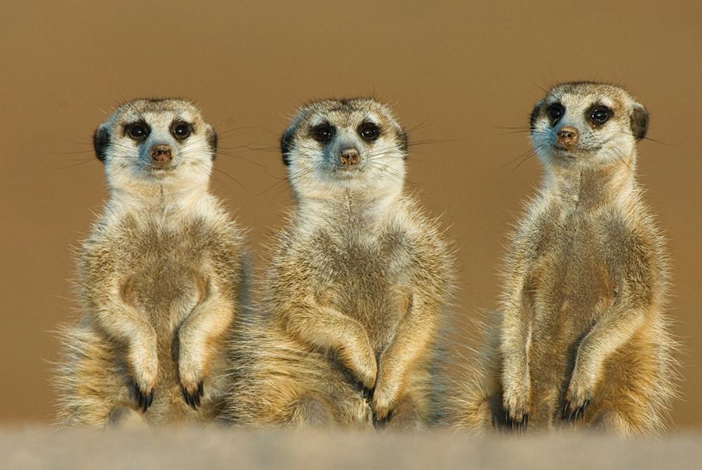 Meerkats-at-Tswalu-Kalahari-Reserve-Sout