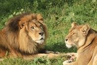 Lion-Family-in-Kruger-National-Park-Sout