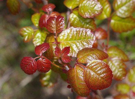 Homeopathy and Natural remedies for Poison Ivy, Poison Oak, Sumac.