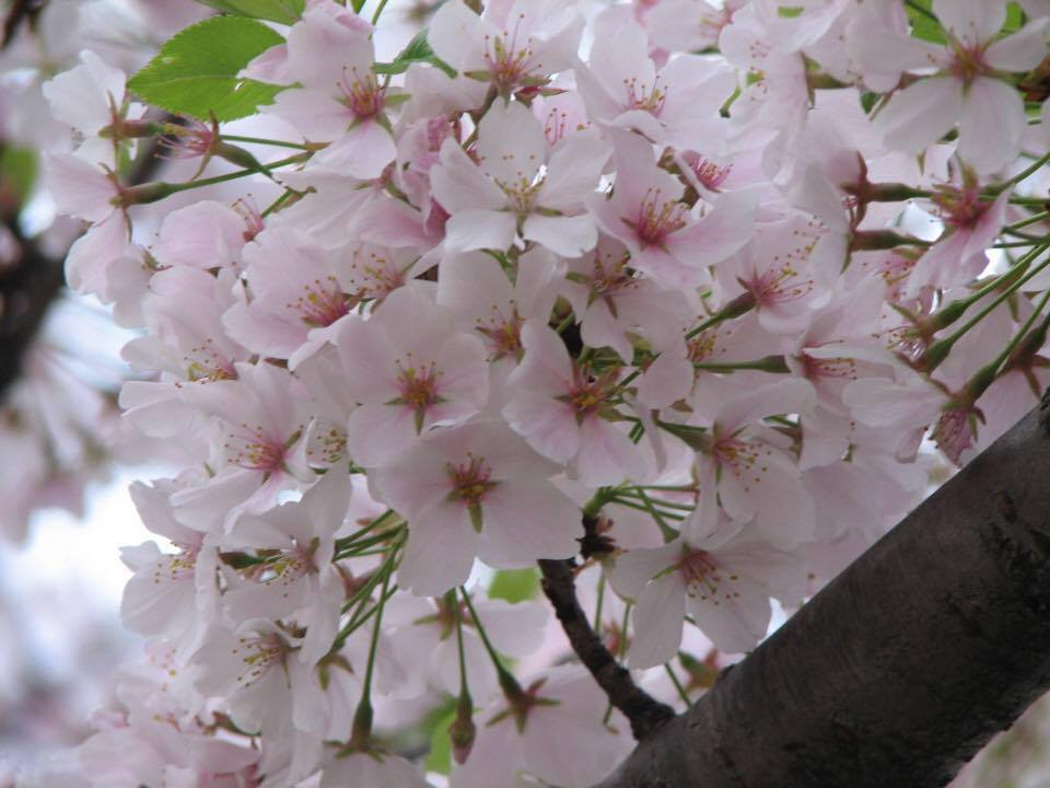 Seasonal Allergy: Cherry Blossom