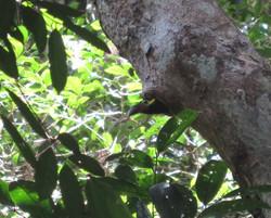 Toucanet sortant d'un trou du tronc
