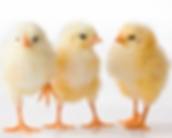 baby chicks_0.png