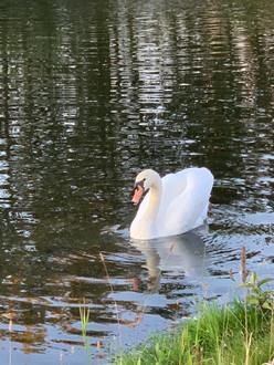 Swan 2019.jpg