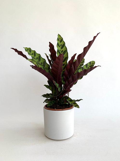 Calathea Lancifolia (Dua Bitkisi)