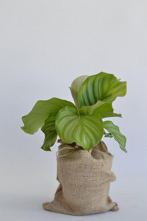 Orbifolia