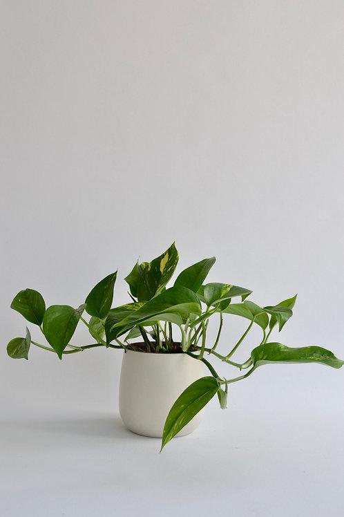 Epipremnum (Potos Sarmasıgı)