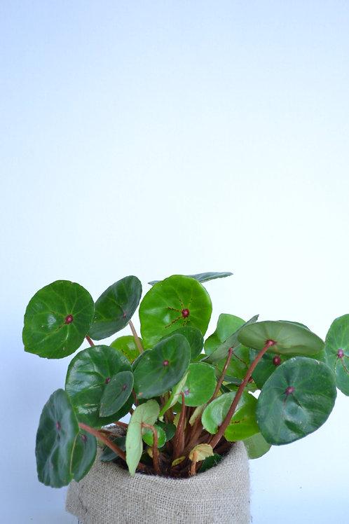 Red Ruby Begonia