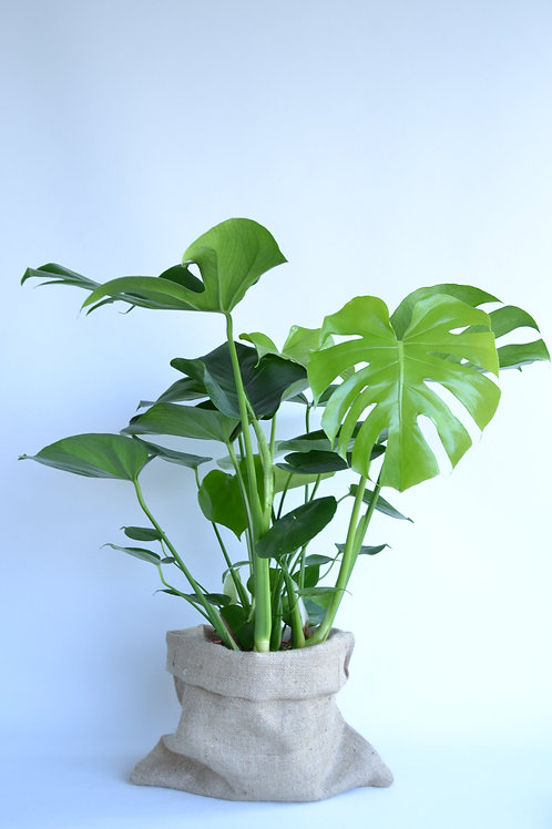 Monstera (Devetabanı)