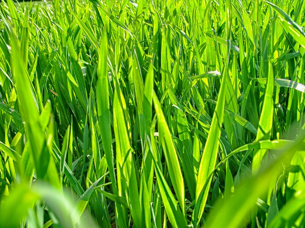 Gerstengras - das junge Gras der Gerste
