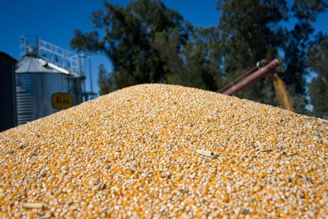 Las exportaciones de maíz están abiertas: La Argentina va a exportar un récord histórico de 38,5 mil