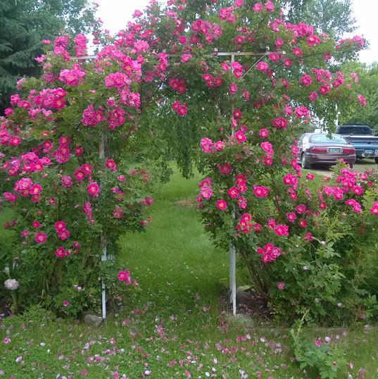 Rose's are divine
