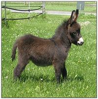 mini donkey.jpg