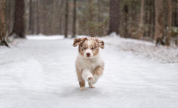 puppy-australian-shepherd-aussie.jpg