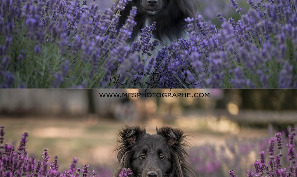 1 - MFS Lavenderr.jpg