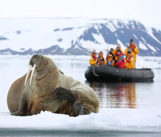 Walrus sighting from a Zodiac