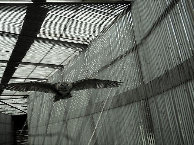 Great Horned Flight (2).JPG