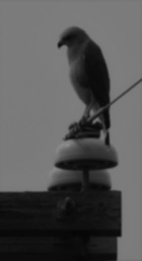 Grey Hawk 1.jpg