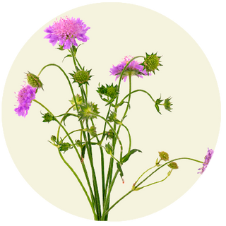 Blåhat, Knautia-arvensis