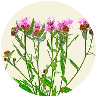 Almindelig Knopurt, Centaurea jacea