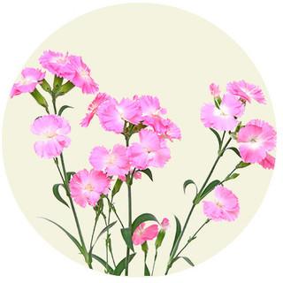 Bakkenellike - Dianthus deltoides