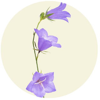 Liden klokke, Campanula rotundifolia