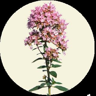 Merian, Origanum vulgare