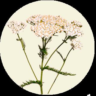Almindelig Røllike, Achillea millefolium